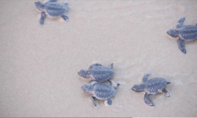 turtles baby SpaceX Boca Chica